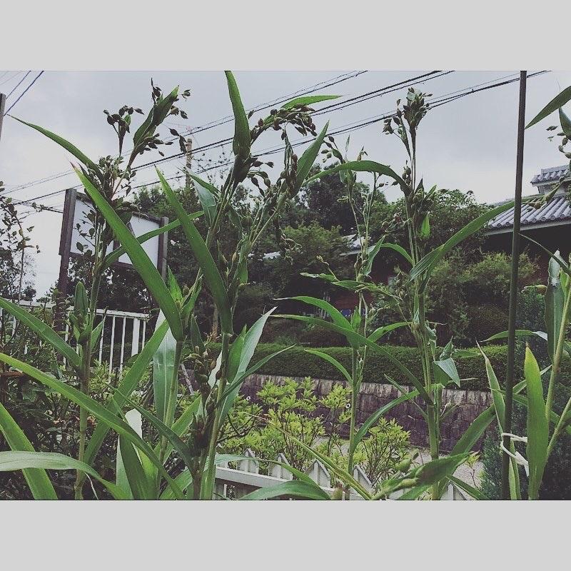 Tea House KURINOKI | 🔱一粒植えたら本当に育ちました。🔱 〜いただいたハトムギ10粒がこんなに大きくなりました〜