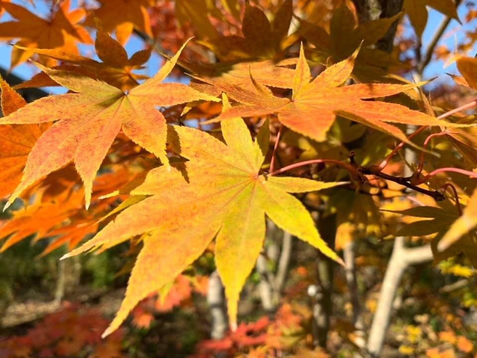 京都祇園|京つけもの「ぎおん川勝」|お茶漬処「ぶぶ家」 | 秋の紅葉!