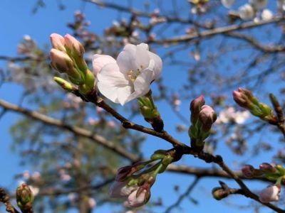 京都の桜🌸🌸🌸!!開花宣言です‼