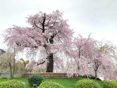 円山公園の「枝垂桜」満開です🌸‼️