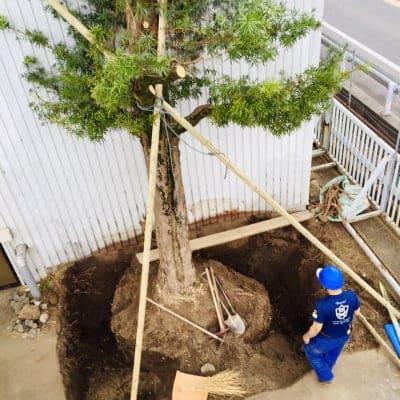 大木の移植相談予約