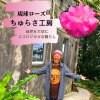 恩納村/エコロジカルな暮らし/無農薬バラ/琉球ローズ/ちゅらさ工房