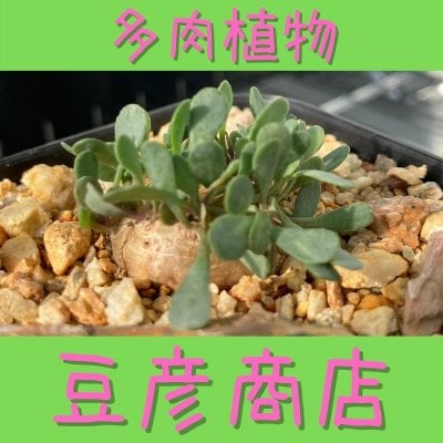 多肉植物☆豆彦商店