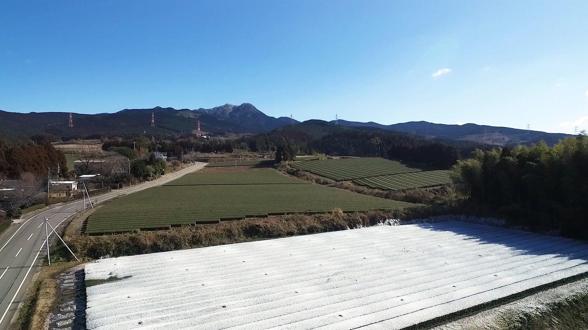 凍る茶畑。霜の被害にあわないように氷結解凍法で育てる茶畑。
