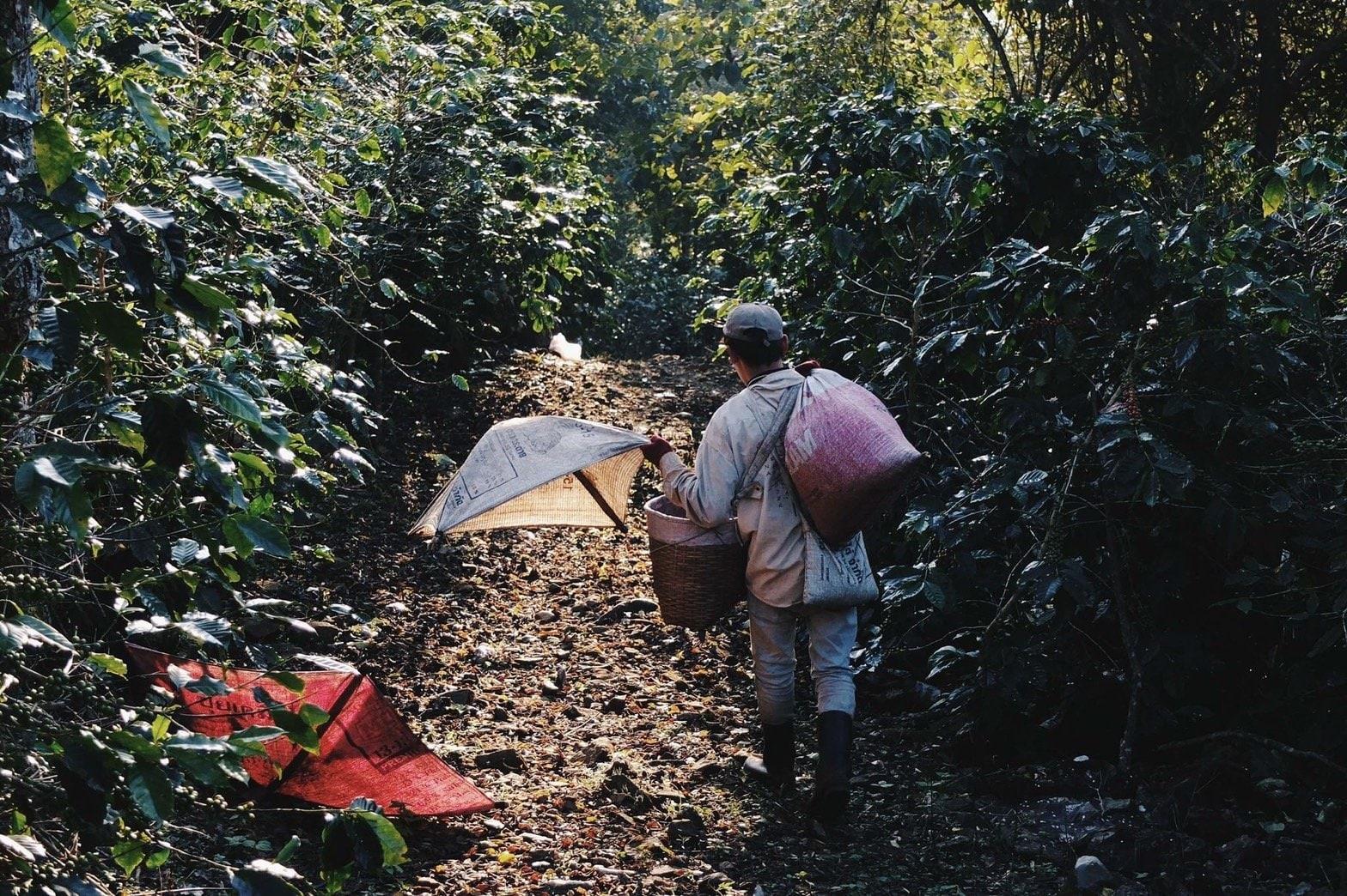 コーヒーチェリー収穫