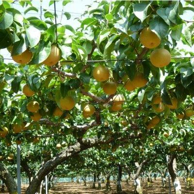 〜梨狩り体験〜 旬の梨をご自身で収穫してみてください♪ 梨狩り袋(3〜4㎏相当)&お得用梨袋(約2㎏)セットのイメージその6