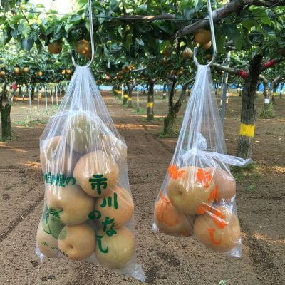 〜梨狩り体験〜 旬の梨をご自身で収穫してみてください♪ 梨狩り袋(5〜6㎏相当)&お得用梨袋(約2㎏)セット