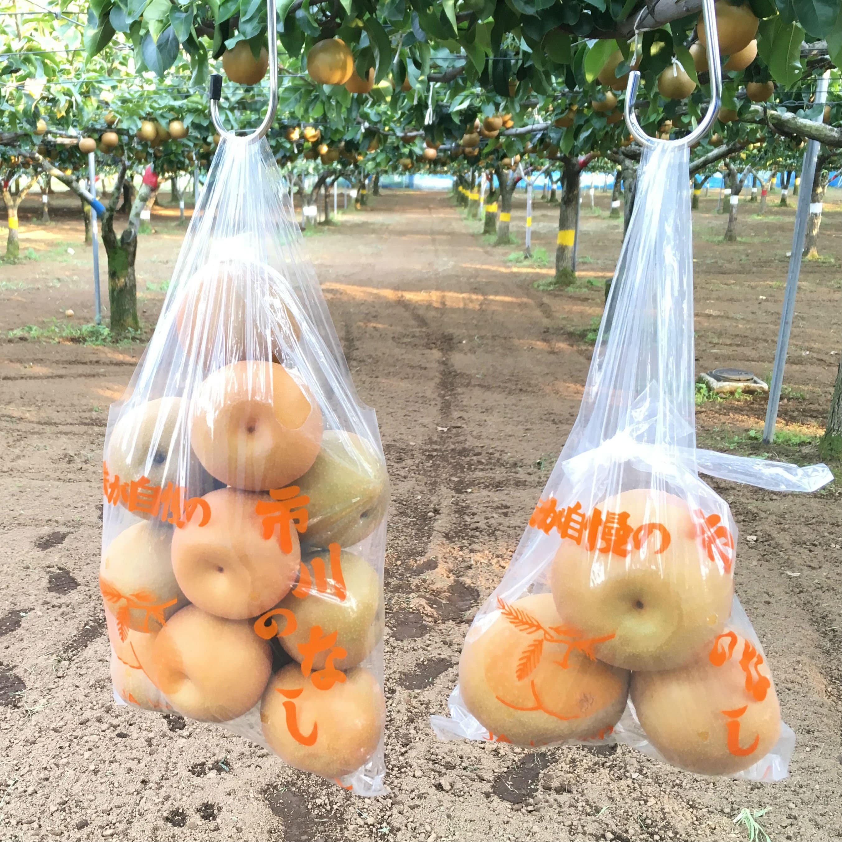 〜梨狩り体験〜 旬の梨をご自身で収穫してみてください♪ 梨狩り袋(3〜4㎏相当)&お得用梨袋(約2㎏)セットのイメージその1