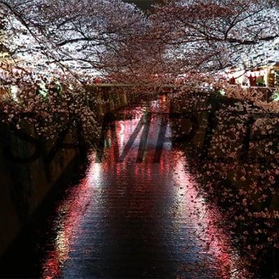 【写真】目黒川の夜桜