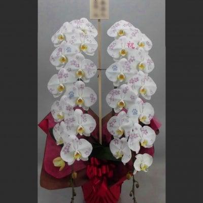 化粧蘭2本立ちプラチナ
