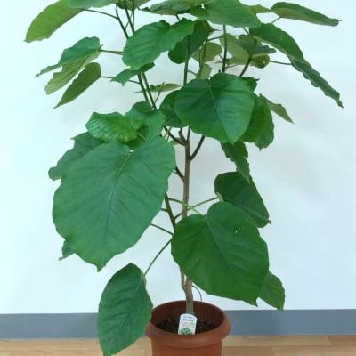 観葉植物(ウンベラータ)ラッピング付