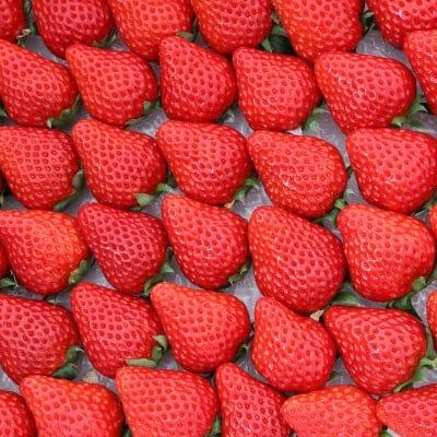 冷凍完熟いちご 紅ほっぺ 300g入×6袋