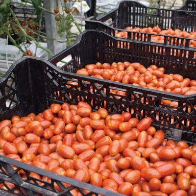 特質性のあるアートテン極うまミニトマト2kg箱 (5箱まで送料一律)の画像5