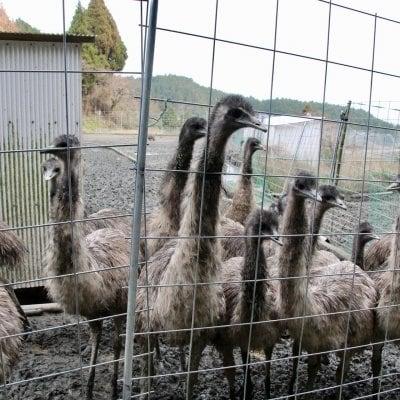 【予約制・店頭払いのみ】エミュー飼育場見学 耕作放棄地で育つサステナブルな巨鳥・エミューを見学