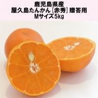 屋久島たんかん5kg|Mサイズ|化粧箱|贈答用|鹿児島県産