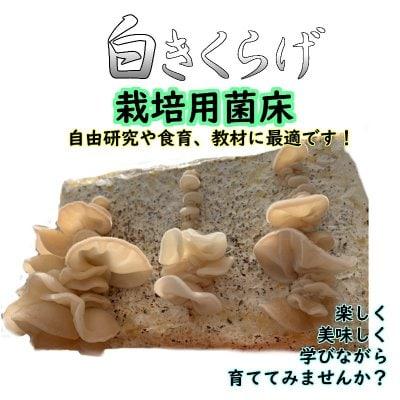白きくらげ栽培用菌床【自由研究や食育にオススメ!! | 収穫後は肥料など...