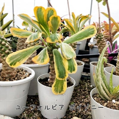 【高ポイント】【3株限定】【観葉植物】ユーフォルビア・ポイゾニー