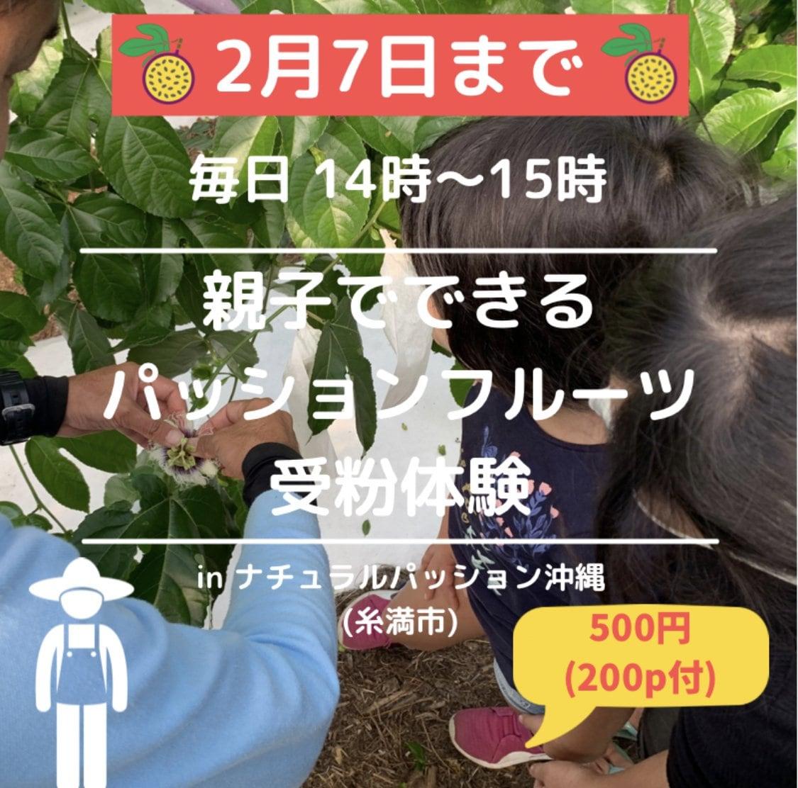 【2月7日まで限定】毎日14時〜15時 農業体験(受粉)パッションフルーツ/大人のみOK/親子OK/学生OKのイメージその1