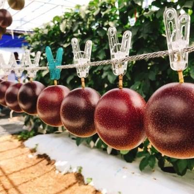 【予約可】【6月上旬開始パッションフルーツ収穫体験】☆約1kg箱(9~10玉)お土産付き☆完全無農薬の沖縄糸満産パッションフルーツの収穫をお楽しみください♪