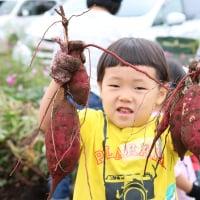 [芋づる会員用]ジャガイモの定植と焼き芋を食べ比べる会