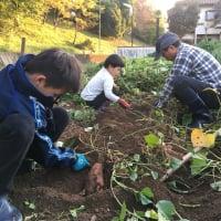 [さいたま市・農業体験]【単発】無農薬のさつまいもの植え付けと焼き芋を食べ比べる会