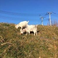 [さいたま]ヤギがきます!無農薬で育てるジャガイモの植付&壷焼き芋を食べ比べる会