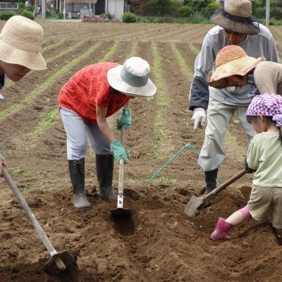 [2020農業体験]じゃがいもの収穫とさつまいもの定植 20200614