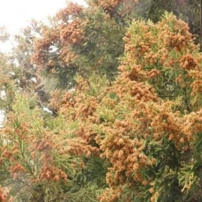 《7月22日(木)午後》発酵エキス教室「スギ、ヒノキ」花粉症対策【現地払い】