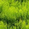 《4月30日(水)》発酵エキス教室「驚異の薬草スギナ」【現地払い】