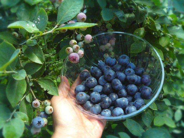 ランチ付き《7月19日(日)20日(月)》発酵エキス教室「無農薬ブルーベリー」【現地払い】のイメージその2