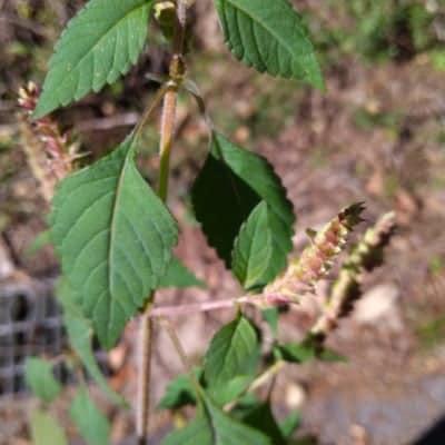 薬草の種 ナギナタコウジュ30粒以上 穂付き