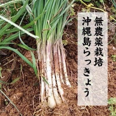 沖縄県産 島らっきょう「うるまっきょ」 1kg
