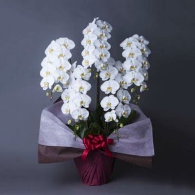 生花【5-3L】胡蝶蘭 白 5本立て 3L