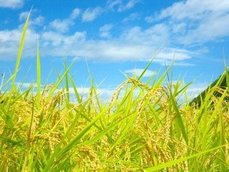 つくばのコシヒカリお持ち帰り用米10㎏/PayPay払いがお得★農業・自然体験/レンタル農園 ラルケーション・ファームのイメージその3