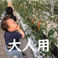 ◆2月分大人【トマト狩り】30分食べ放題!10種類のトマトを食べ比べ・ご堪能プラン!