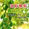 【国産】青パパイヤ【農薬不使用】3㎏(目安2〜5個)[送料無料]