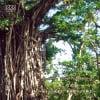 自然音CD 〜ある山の風景〜③ 《果樹園のバカ騒ぎ》 奄美大島