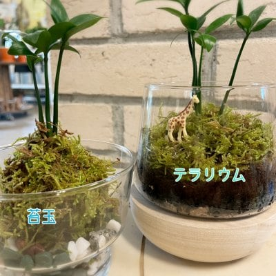 『苔を使った選べるワークショップ』③苔玉&テラリウム【現地払い専用】
