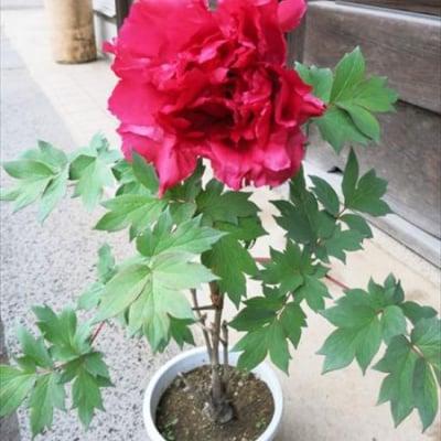 冬咲き牡丹【1輪咲き】赤、桃、白 1月末注文締め切り