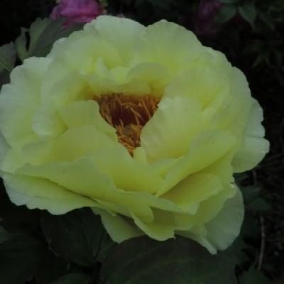 冬咲き牡丹【2輪咲き】黄色