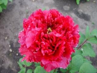 冬咲き牡丹【2輪咲き】赤、桃、白、色指定なし 1月末注文締め切り