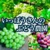 最終売り尽くし!1kg【晴王】シャインマスカット(2房)