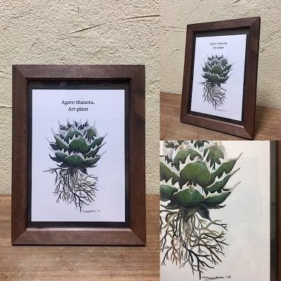 【送料込み】ART PLANT (Agave titanota)