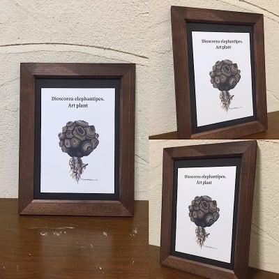 【送料込み】ART PLANT (Dioscorea elephantioes)