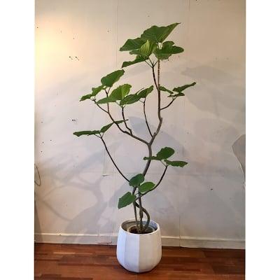 沖縄本島内限定 観葉植物 【フィカス・ウンベラータ】