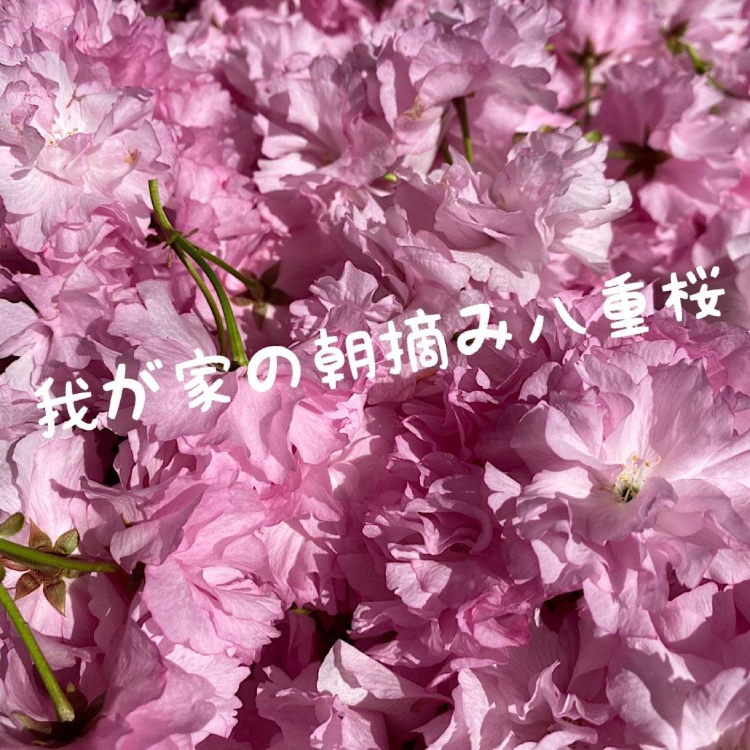 【八重桜の花】空soraのイメージその4