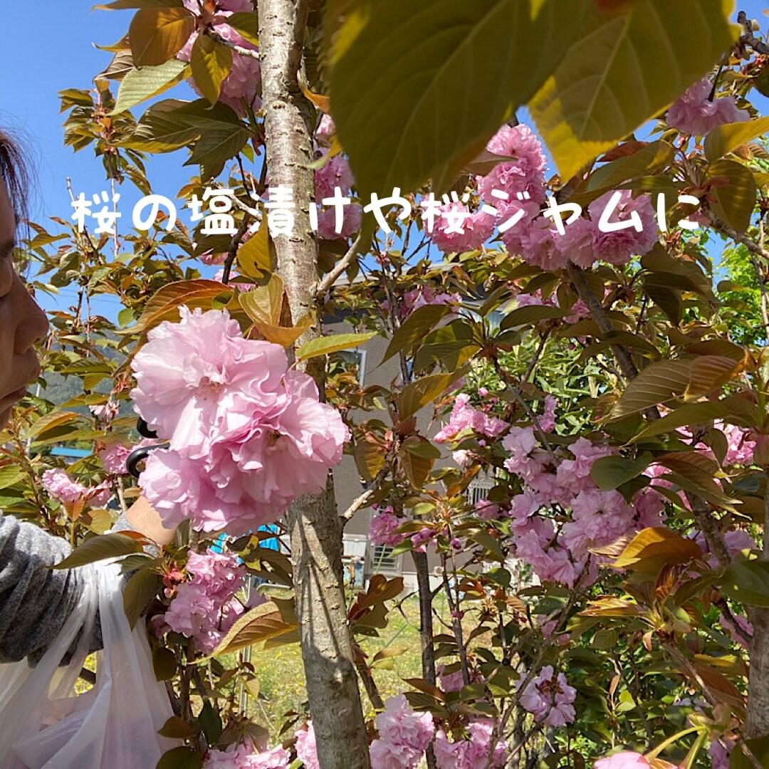 【八重桜の花】空soraのイメージその2