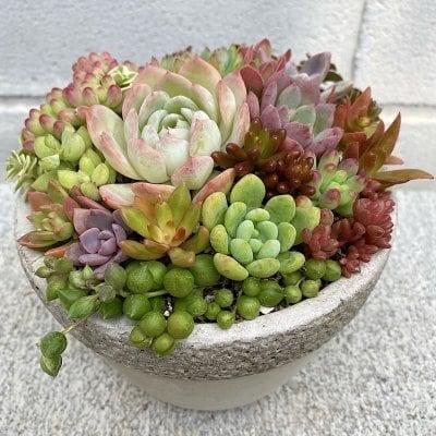 多肉植物の寄せ植え レトロ鉢 皿付き
