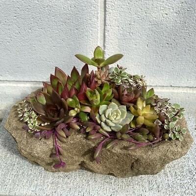 【現地受け取り限定】多肉植物の寄せ植え 来待石鉢使用