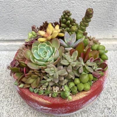 【冬季限定カラー鉢使用】多肉植物の寄せ植え 丸鉢